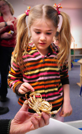 Newburyport: Lilly Baumfeld, 6, checks out a rock crab held by Chaffee Monell, an education volunteer with Joppa Flats Education Center, at the Newburyport Montessori School on  Wednesday. He and several other volunteers were there with Lisa Hutchins who taught the children about sea life in the area and brought along a couple of touch tanks. Bryan Eaton/Staff Photo