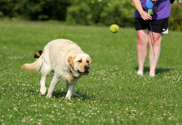 Newburyport: Twinkie, a yellow lab, chases down a tennis ball Tuesday afternoon during Cashman Park's off leash hours. Photo by Ben Laing/Staff Photo