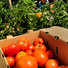 Salisbury: The recent warm weather has been good for tomatoes and other crops grown at local farms and in backyard gardens. Bethany Renaud of Bartlett's Farm in Salisbury picks some in their field on Tuesday afternoon and they've been harvesting sweet corn for over a week now. Bryan Eaton/Staff Photo