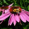 Newburyport: A honeybee scours a cone flower for pollen outside the old Kelley School in Newburyport on Wednesday morning. Bryan Eaton/Staff Photo