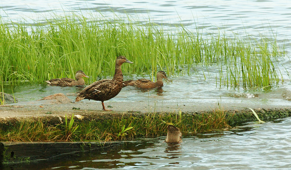 Newburyport: A female Mallard duck keeps an eye on her adolescents at one of the boat ramps at Cashman Park yesterday morning. Bryan Eaton/Staff Photo