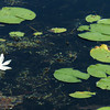 Amesbury: There were plenty of lily pads floating on Tuxbury Pond in Amesbury on Wednesday morning, but no frogs to be found resting on any of them. Bryan Eaton/Staff Photo
