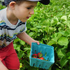 Amesbury: Local farms have had a good start to the growing and expect the crops to continue to be good this year. Matthew Nigrelli, 4, of Fremon, NH was at Cider Hill Farm looking for ripe strawberries earlier this week. Bryan Eaton/Staff Photo