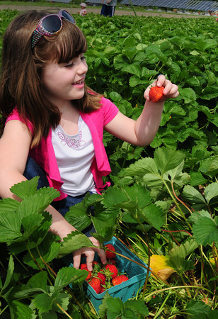 Amesbury: Sydney Mather, 5, of Haverhill shows off a big strawberry at Cider Hill Farm while there with friends and family. Though rain in the immediate forecast may curtail pick-your-own, the strawberry season is predicted to go into the second week of July. Bryan Eaton/Staff Photo