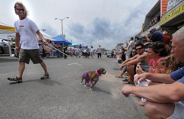 Salisbury: Gracie , being walked by Greg Bates, check out  the people watching as they participate in the Dog Parade at the Sand and Sea Festival at Salisbury Beach Sunday morning. Jim Vaiknoras/ staff photo