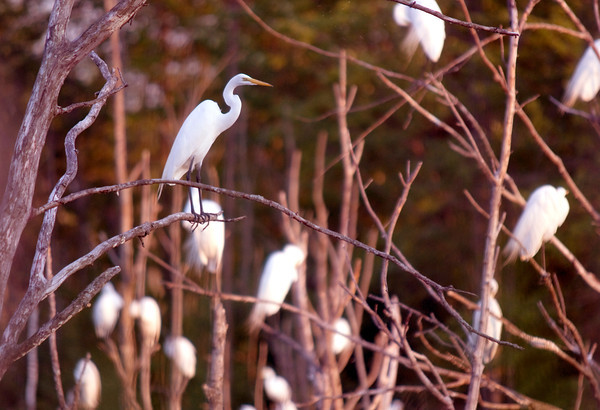 "Salisbury: A ""wedge"" of egrets collect at dusk Saturday in the marsh along Bridge Road in Salisbury. The bird have been making an annual pilgrimage to the spot attracting bird watchers and photographers. Jim Vaiknoras/Staff photo"