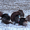 Newbury: A flock of turkeys strut around Old Town Hill in Newbury Friday morning, underterred by the overnight snow fall. Photo by Ben Laing/Staff Photo