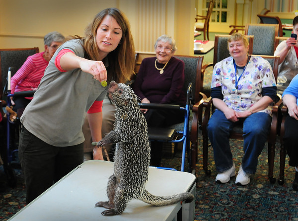 Newburyport: Caroline Barr feeds a Brazilian monkey tail porcupine to the delight of residents of Atria Merrimack Place in Newburyport on Wednesday afternoon. She was from Wildlife Encounters out of New Hampshire and brought a half dozen wild animals, a few which the residents could touch. Bryan Eaton/Staff Photo