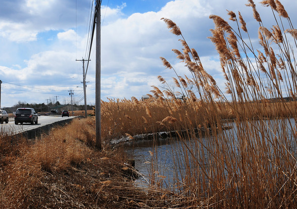 Salisbury: The invasive reed phragmites is a common site along wet areas like here on Bridge Road in Salisbury at Town Creek. Bryan Eaton/Staff Photo