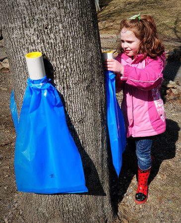 Amesbury: Cleo Podrasky, 4, removes her bag from a sugar maple to add to the sap evaporator that Chris Hicks brought to the Sparhawk School. Bryan Eaton/Staff Photo