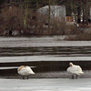 Amesbury: Two swans preen themselves on a melting Tuxbury Pond on Kimball Road in Amesbury yesterday morning. Bryan Eaton/Staff Photo