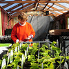 Salisbury: It may still be winter outside, but inside area greenhouses spring has arrived. Gail Kelleher of Pettengill Farm in Salisbury labels transplanted seedlings, and Tenderdrop Farm in Newbury planted the first lettuce of the season yesterday. Bryan Eaton/Staff Photo