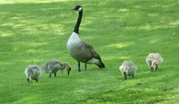 Newbury: A Canada goose keeps a watch over its offspring as they feed at Newbury's Upper Green on Thursday afternoon. Bryan Eaton/Staff Photo