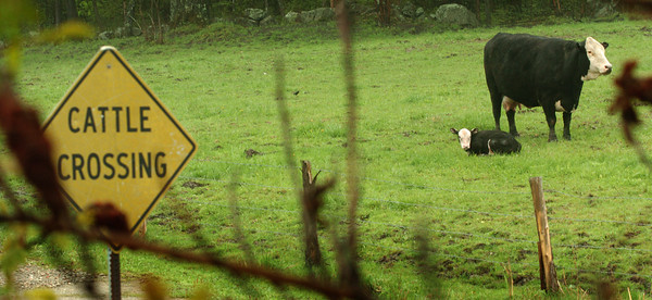 Amesbury: A cow takes a break from grazing on the lush grass with its calf on Merrill Street in Amesbury on Wednesday. Bryan Eaton/Staff Photo