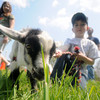 Newbury: Alex Yablin 6 walks a very curious Appleton, a resently rescued 6 week old dwarf goat at the Draft Plow competition at the Spencer Pierce Little Farm Saturday. Jim Vaiknoras/Staff photo