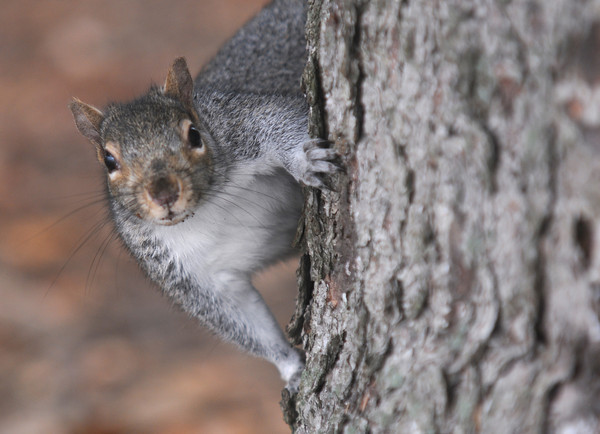 Newbury: A curious squirrel pokes his head around a tree on the Upper Green in Newbury. Jim Vaiknoras/staff photo