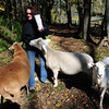 West Newbury: Debra Curtin with her sheep. Bryan Eaton/Staff Photo