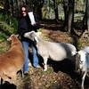 West Newbury: Debra Curtin with her sheep. Bryan Eaton/Staff Photo