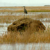 Newbury: A great blue heron scours the high tide-filled marsh along the Plum Island Turnpike yesterday perched on one of the haystacks there. Bryan Eaton/Staff Photo