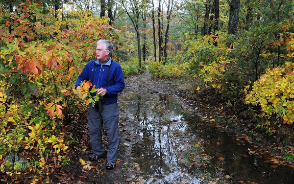 Rowley: Bill Gette of the Mass. Audubon's Joppa Flats Education Center looks over the colorful leaves of a sassafras tree on new land the  society has acquired as a sanctuary. The land, off Route 1A in Rowley near Stackhouse Road, is 200 acres of upland, as pictured, and marshland. Bryan Eaton/Staff Photo
