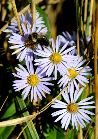 Newbury: Wild Asters along the Parker River get a visit from a bee on a warm fall day Monday. Jim Vaiknoras/Staff photo