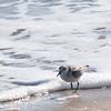 Newbury: A sandpiper runs along the surf line on Plum Island Saturday morning. JIm Vaiknoras/Staff photo