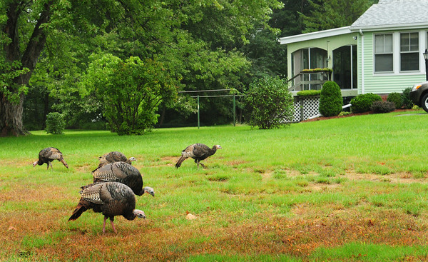 Amesbury: A flock of around a dozen wild turkeys have been appearing on Merrill Street in Amesbury and areas nearby. They seem to less afraid of humans as they grazed on a lawn on Clarks Road not far from Route 110 yesterday. Bryan Eaton/Staff Photo
