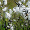 Amesbury: Seeds from milkweeds are sprouting in a scene of fall on Lion's Mouth Road in Amesbury. Bryan Eaton/Staff Photo