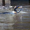 Newburyport: A cormorant grabs lunch around noon yesterday in the embayment on the Newburyport waterfront with what appeared to be an eel. Bryan Eaton/Staff Photo