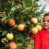 Amesbury: Trevor Nabinger, 3, with his mom, Kim, of Haverhill tugs at an apple at Cider Hill Farm in Amesbury yesterday. There were some concerns at area farms on the effects of Tropical Storm Irene ruining some crops, but the peaches and apples there remained intact for the most part. Bryan Eaton/Staff Photo