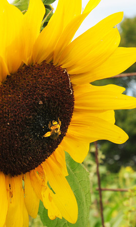 Amesbury: A honey bee grabs pollen at one of the scores of sunflowers at the Amesbury Community Gardens at Battis Farm yesterday afternoon. Bryan Eaton/Staff Photo
