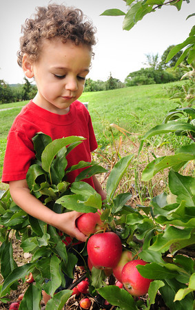 Newburyport: Trevor Nabinger, 3, with his mom, Kim, of Haverhill tugs at an apple at Cider Hill Farm in Amesbury yesterday. There were some concerns at area farms on the effects of Tropical Storm Irene ruining some crops, but the peaches and apples there remained intact for the most part. Bryan Eaton/Staff Photo