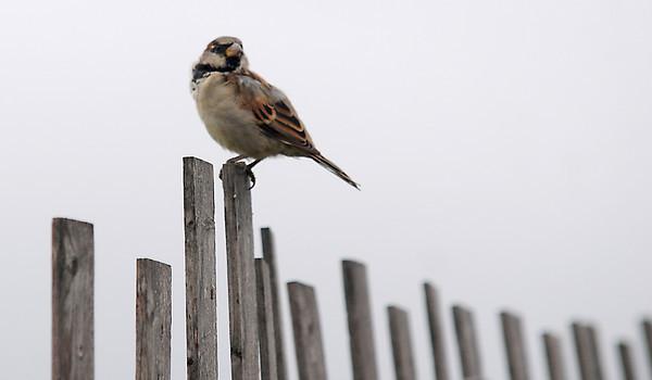 Salisbury: A sparrow perches on the sea fence on Salisbury Beach. Jim Vaiknoras/Staff photo