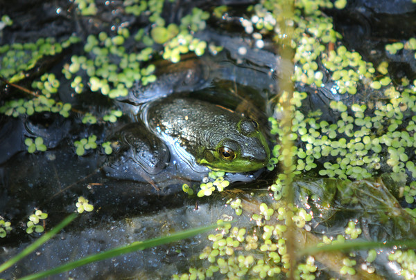 Amesbury : A bullfrog hides amonst the algae in the small pond at Amesbury Park. Jim Vaiknoras/Staff photo