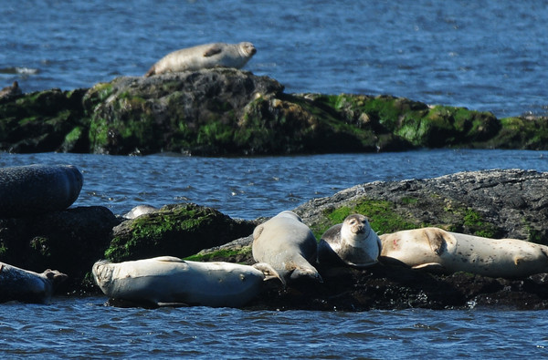 Salisbury: Seals bask in the morning sun yesterday at the Black Rocks off Salisbury Beach State Reservation. Bryan Eaton/Staff Photo