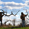 Amesbury: Matt Dustin, left, and Pieter Frick of Cider Hill Farm in Amesbury prune peach trees which had little, if any, damage from last week's freeze. Bryan Eaton/Staff Photo