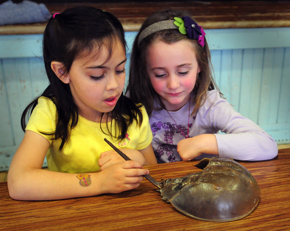 Newburyport: Shelby Fisher, 6, left, and Abby Kelly, 5, check out a horseshoe crab shell as they learn how they use their tail to right themselves if flipped. Presenters from Audubon's Joppa Flats Education Center were teaching Brown School students about coastal animal life Tuesday. Bryan Eaton/Staff Photo