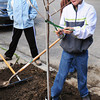 Newburyport: River Valley Charter School student Jacob Keohane, 11, ties a  Carolina Silverbell to a support post on Bromfield Street in Newburyport. He was part of several teams planting 40 trees around the city for Arbor Day with help from the Newburyport Tree Committee and Newburyport Department of Public Services. Bryan Eaton/Staff Photo