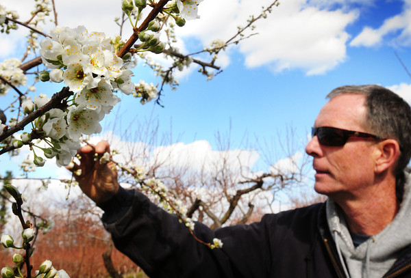 Amesbury: Cider Hill Farm's Glenn Cook says that these plum blossoms started to appear just as last week's frost raised concern, though the tree crops there seemed to do alright. Bryan Eaton/Staff Photo