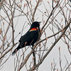 Amesbury: A redwing black bird perches on a budding tree in Alliance Park in Amesbury Sunday morning. JIm Vaiknoras/staff photo