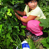 Amesbury: Ramona Sim, 6, of Amesbury picks Asian long beans at the Amesbury Community Garden on Tuesday afternoon. The soon-to-be first-grader was helping her mother, Thy, who planted crops from her native Cambodia. Bryan Eaton/Staff Photo
