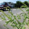Newburyport: Ragweed is appearing along roadsides, here on Water Street in Newburyport, the pollen of which is causing suffering for many. Bryan Eaton/Staff Photo