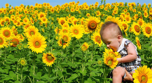 Newbury: Liam Sargent, 8 months, tries to taste a sunflower petal at one of  the Colby Farm fields on Scotland Road in Newbury. The Salisbury child was there with his mother, Kelly, who was taking pictures of him and asked another lady, who stopped to photograph the sweeping view, to take one of she and her son together. Bryan Eaton/Staff Photo
