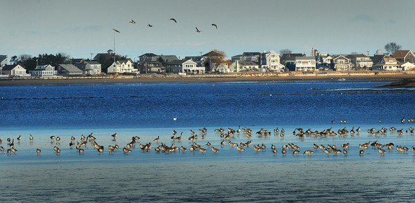 Newburyport: These Canada geese seem to be congregating on ice, when actually it's a very low tide on Tuesday afternoon. Bryan Eaton/Staff Photo