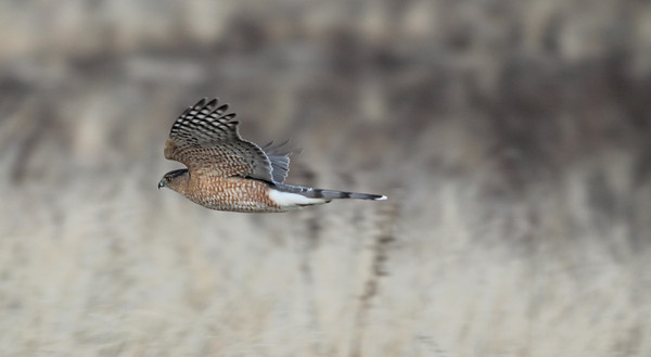 newbury: A coopers hawk glides along the salt marsh off the Plum Island Turn Pike in Newbury. Jim Vaiknoras/staff photo