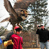 Byfield: Sam Aponas, 13, of Byfield ducks as he releases a flapping great horned owl back to the wild yesterday afternoon as his father, Sam, takes photos. His neighbor, former Triton teacher and biologist Dave Taylor was brought the owl, which was injured on Interstate 95 and rehabilitated. Bryan Eaton/Staff Photo