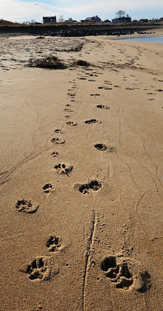 Newburyport: Late afternoon sunlight contrasts these pawprints of dogs, evidence of their visiting the northeast beach of Plum Island on Wednesday afternoon after an outgoing tide left a clean slate. Bryan Eaton/Staff Photo