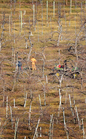 Amesbury: These two workers pruning the apple trees at Cider Hill Farm in Amesbury on Monday blend into their surroundings. Usually they stand out  as there's usually snow on the ground. Bryan Eaton/Staff Photo