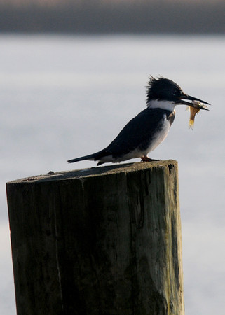 Salisbury: A belted kingfisher holds a fish while resting at Salisbury Town Pier Sunday. Jim Vaiknoras/stff photo