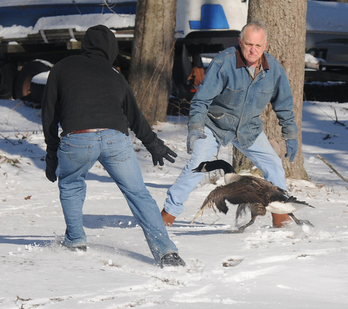 Salisbury: Kenny Eaton and Jake Goodridge try to catch Angel, a flightless goose, off Ferry Road in Salisbury Friday. The goose was born near the Pettingill Farm and had been living there since, local residence fearing for the bird safetly him and found a home for him in a pen at the farm. Jim Vaiknoras/staff photo